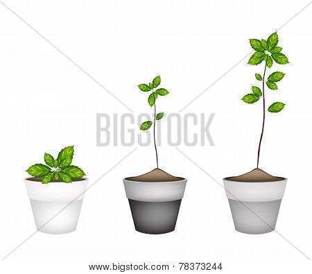 Vegetable and Herb Illustration of Thai Sweet Basil Plant in Terracotta Flower Pots Used for Seasoning in Cooking. poster