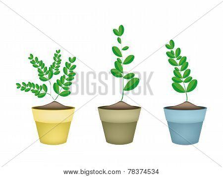 Fresh Moringa Tree in Ceramic Flower Pots