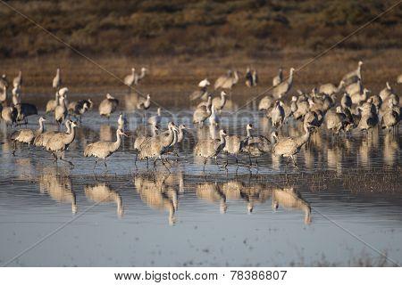 Sandhill cranes at Bosque del Apache National Wildlife Refuge in San Antonio New Mexico