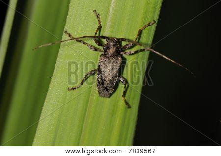 Amazon-Käfer