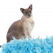 Blue point siamese cat in the studio poster