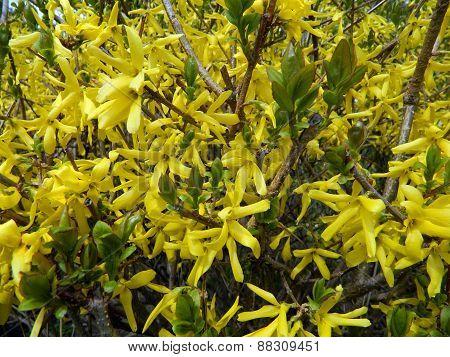 Blooming Yellow Bush