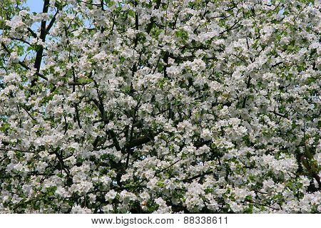 spring blossoming cherry tree