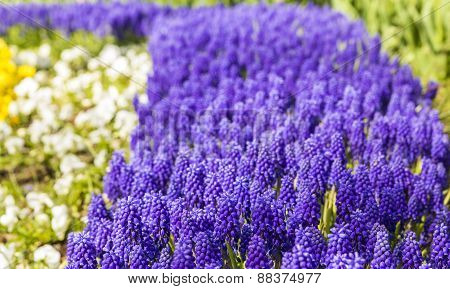 background texture of a flower bed with purple muscari spring flowers