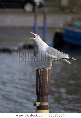 Herring Gull Calling On Metal Pole
