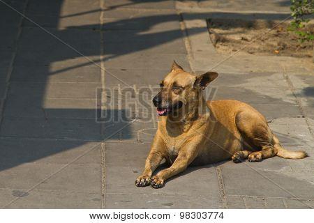 Dog in a street og Bangkok Thailand