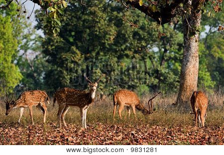 Axis Axis or Spotted Deer (Axis axis) INDIA Kanha National Park poster