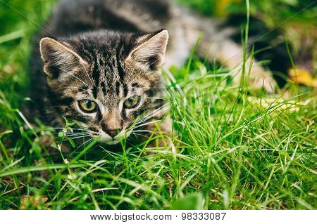 Playful Cute Tabby Gray Cat Kitten Pussycat Sitting In Grass Out