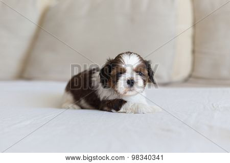 Little Furry Shih-tzu Pup On The Soffa
