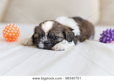 Furry Shih-tzu Pup Sleeping With Two Toys