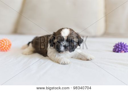 Little Shih-tzu Pup On The Soffa