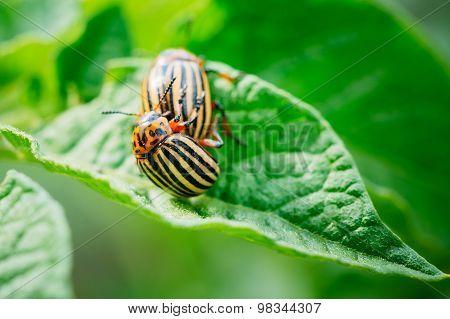 Macro Shot Of Potato Bug On Leaf