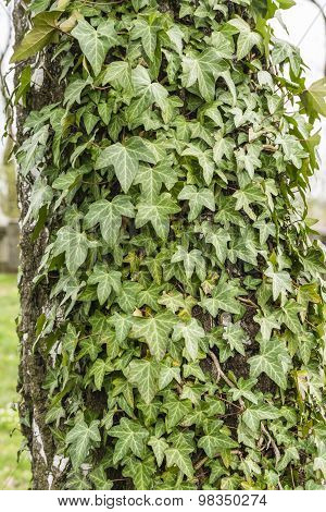 Hedera Helix (common Ivy, English Ivy, European Ivy, Ivy)