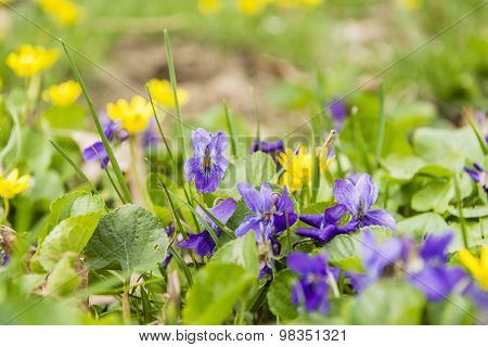 Viola Odorata (wood Violet, Sweet Violet, English Violet, Common Violet, Florist's Violet)