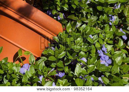 Blue flowered vinca and orange pot
