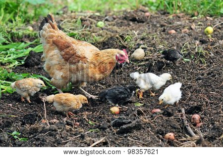 Mother hen with chickens