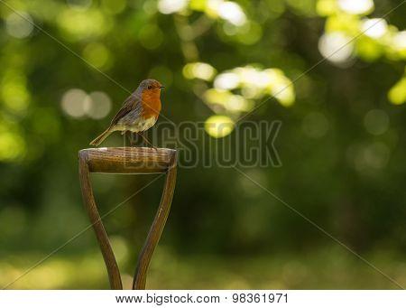 Robin red breast sitting on garden spade