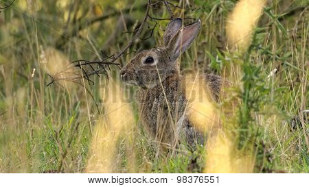 European rabbit also called the common rabbit (Oryctolagus cuniculus) living wild in the tall grass on the island of Bornholm poster