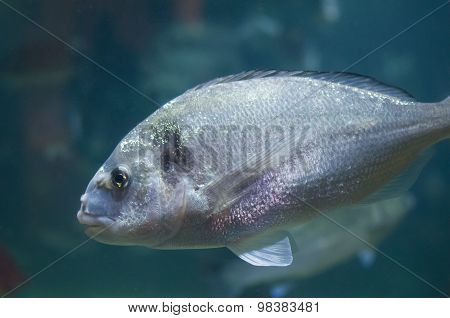 Gilt Head Bream