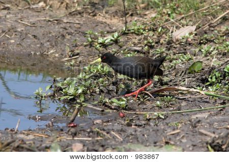 black crake foraging for food in the wetlands poster