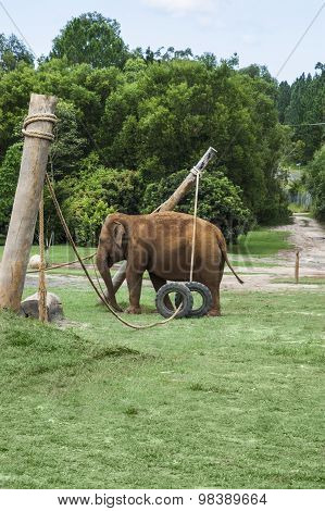 Elephant Playing In Its Enclosure