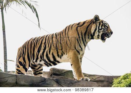 Beautiful Roaring Tiger