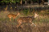 Axis or Spotted Deer (Axis axis) INDIA Kanha National Park poster