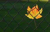 the wonderful colors of fall highlighted by a wind stuck leaf. poster