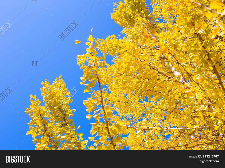 Yellow Ginko Tree Blue Image Photo Free Trial Bigstock