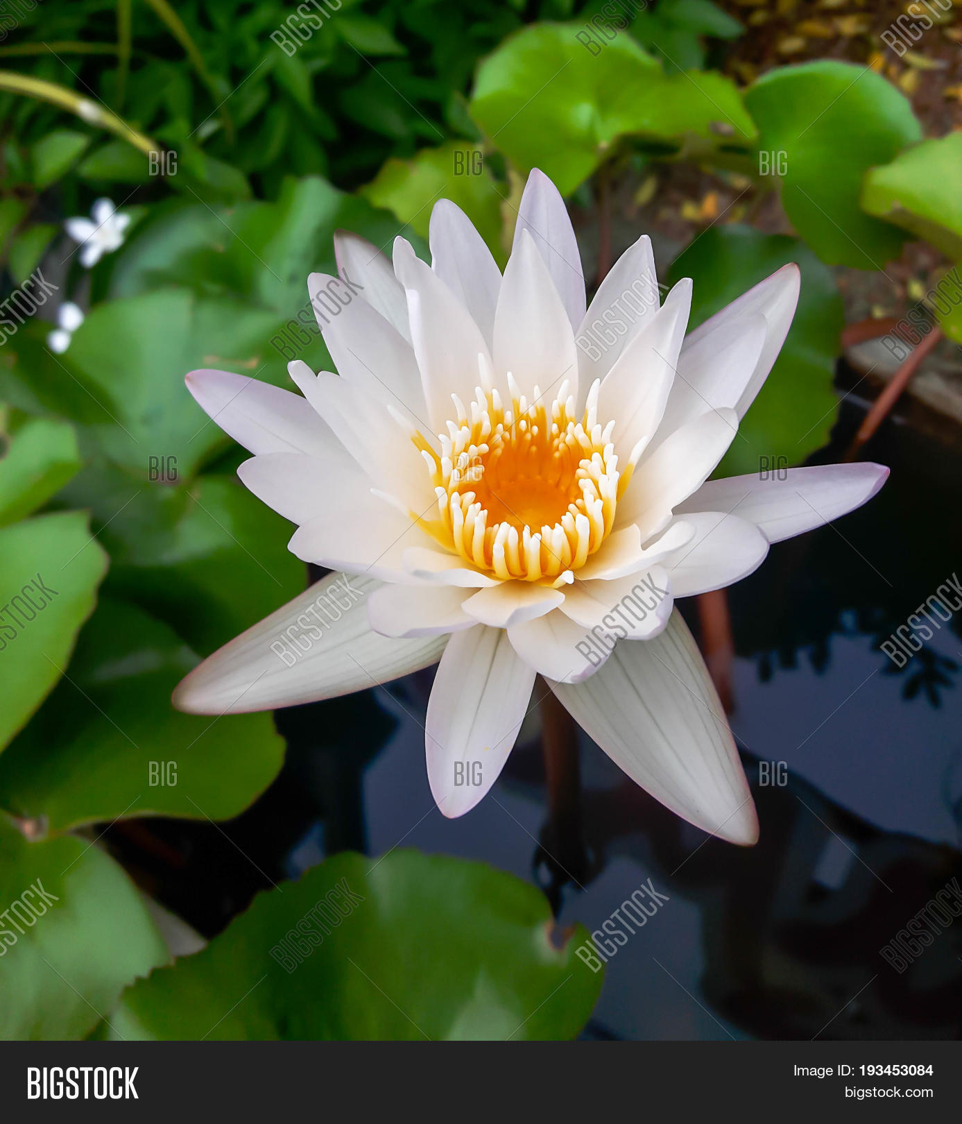 Beautiful white lotus image photo free trial bigstock the beautiful white lotus flower or water lily reflection with the water in the pond izmirmasajfo