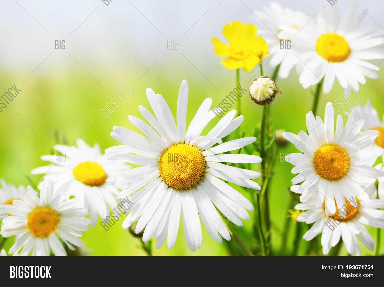Daisy camomile floweramomile image photo bigstock daisy camomile floweramomile field flowers border beautiful nature scene spring daisy izmirmasajfo