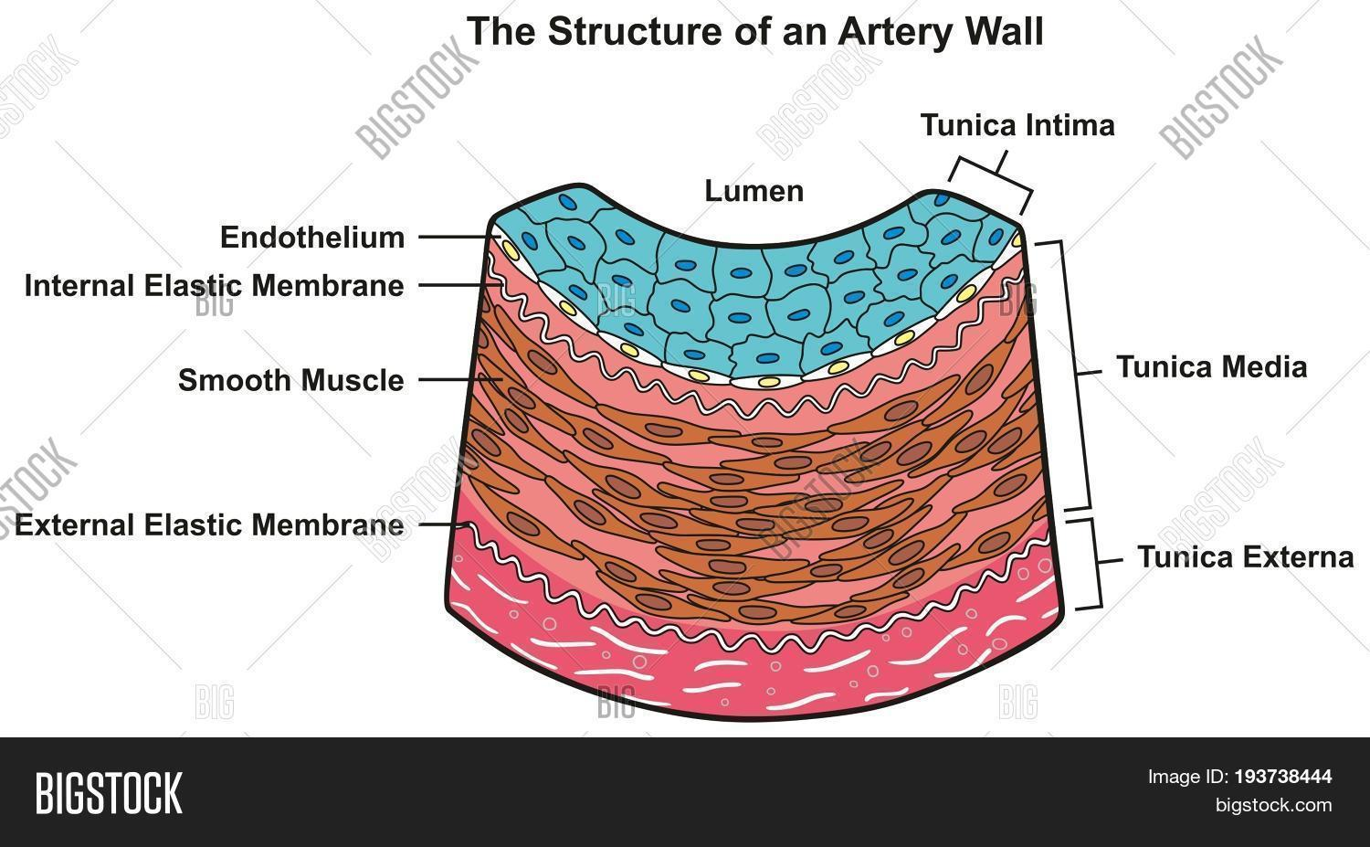 structure artery wall image & photo (free trial) | bigstock arterial wall diagram arterial disection diagram