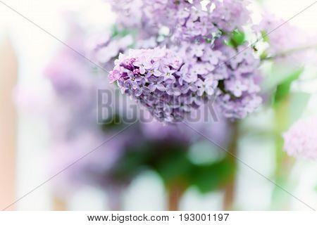 Lilac Flowers In The Garden.