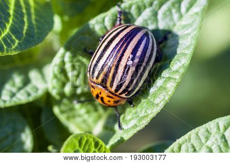 Colorado potato beetle eats potato leaves close-up.