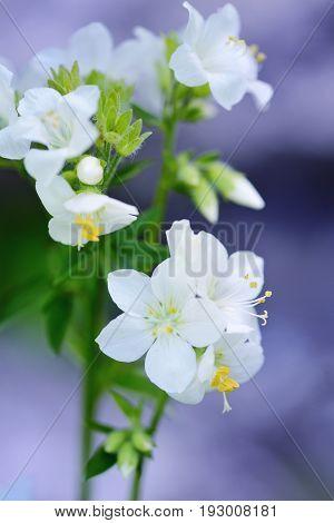 White Polemonium Flowering In A Garden, Greek Valerian - Honey Plant