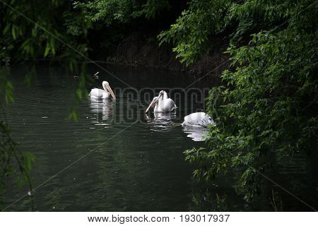 A pack of pelicans swim over the surface of the pond water