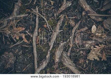 Forest foliage background. Forest floor background and texture. Organic texture. Roots and leaves in the forest. Abstract organic texture and background for designers. Macro view  of mossy roots.