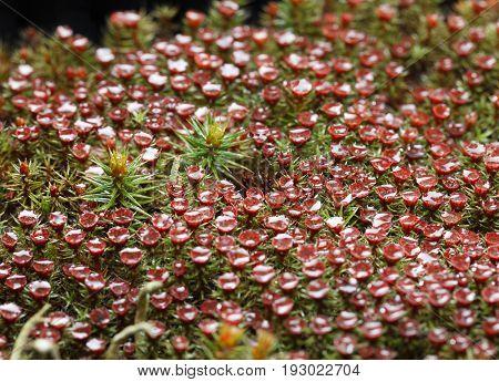 Blooming Haircap Moss