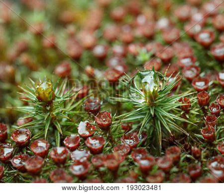 Drops On Blooming Moss