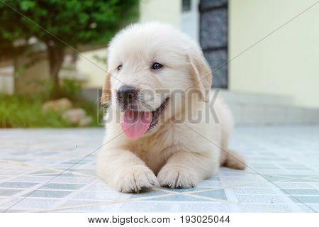 Portrait of golden retriever puppy in home