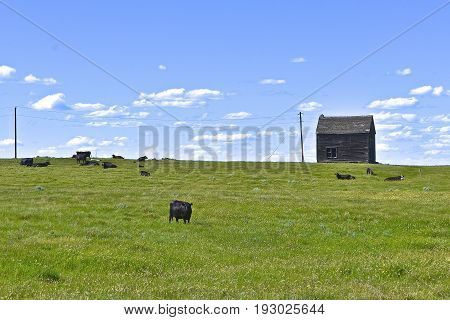 A herd of black Angus cattle graze the western hillside near an old abandoned building.