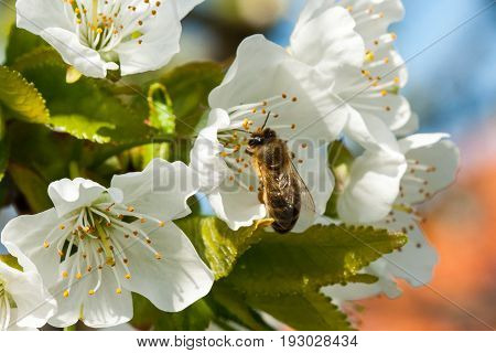 Bee collects nectar on the flowers of cherry.