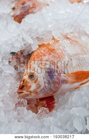 fresh white Nile tilapia Cichlidae fish cover with ice in market