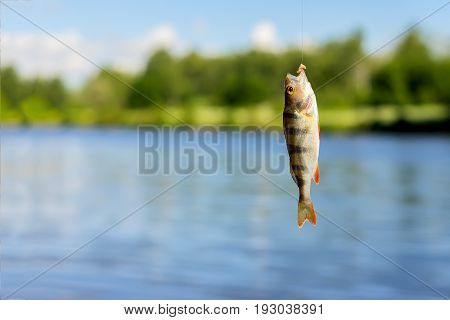 Close-up of Bright perch just taken from water on fish-hook with Worm on a fishing line. Natural water landscape. Concept luck, fortune, case, finance, investment, success, active rest, hobbies, countryside relaks. Copy Space, for natural background