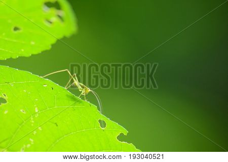 Beautiful grasshopper standing on green leaf as background