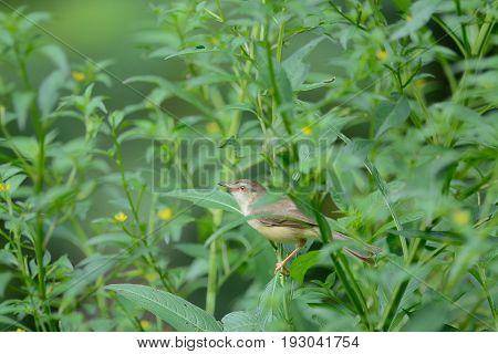Plain Prinia ,bird Perching On Branch