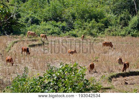 Namdinh, Vietnam . Farmwork with Cows in field