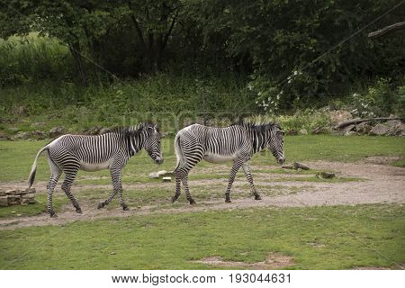 Grevy's zebras (Equus grevyi) also known as the imperial zebras.