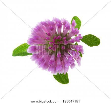 Clover flower isolated on white background. Trifolium pratense