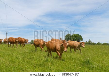 Limousin cows in landscape with Little Roman church in French village in Nouvelle-Aquitaine